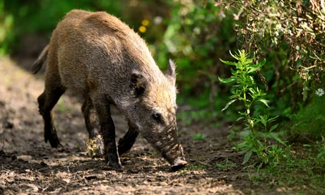Wild-Bboar-looks-for-food-005