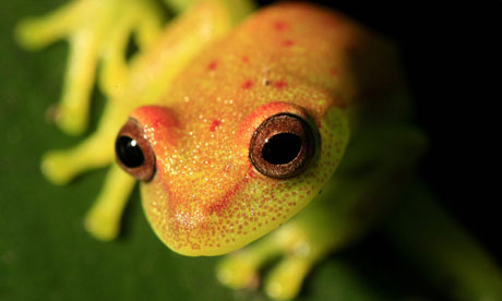 Yellow-frog-in-Colombian--006